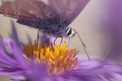 Большая голубая деталь бабочки Стоковое фото RF