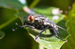 Большая голубая муха Стоковое Изображение