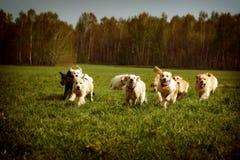 Большая группа в составе бежать золотых retrievers собак Стоковое фото RF