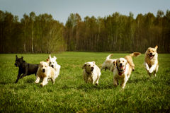 Большая группа в составе бежать золотых retrievers собак Стоковое Изображение
