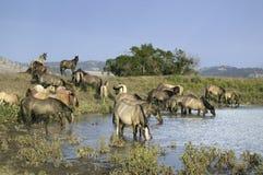 Большая группа в составе дикие лошади Стоковые Изображения RF
