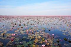 Большая группа в составе цветки лотоса в пруде, море фестиваля лилии красной воды Стоковые Фото