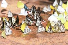 Большая группа в составе Черно-veined белые бабочки (crataegi Aporia Стоковые Изображения