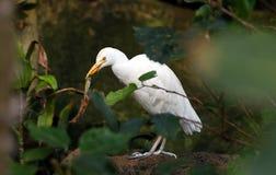 Большая еда egret Стоковые Изображения