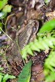 Большая жаба Стоковые Фотографии RF