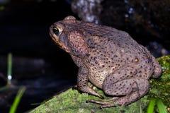 Большая жаба Стоковое фото RF