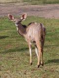 Большая женщина kudu на луге стоковые изображения