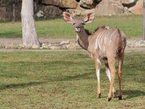 Большая женщина kudu на луге стоковые фотографии rf