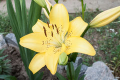 Большая желтая лилия Стоковые Фотографии RF