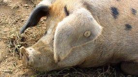 Большая запятнанная свинья snoozing Стоковые Фото
