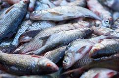 Большая задвижка рыб сложенных в кучу Стоковая Фотография RF