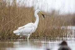 Большая задвижка Egret рыба в пруде Стоковая Фотография