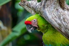Большая зеленая ара на дереве стоковые фотографии rf
