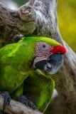 Большая зеленая ара на завтрак-обеде дерева Стоковые Изображения RF