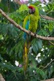 Большая зеленая ара - Ara Ambiguus Стоковая Фотография RF