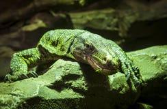 Большая зеленая ящерица Стоковые Изображения RF
