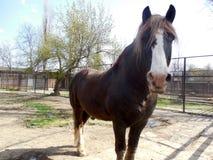 Большая и сильная лошадь Стоковое Изображение