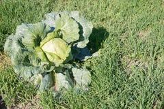 Большая капуста в саде Стоковое фото RF