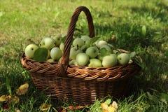 Большая корзина с зрелыми яблоками под деревом i Стоковая Фотография RF