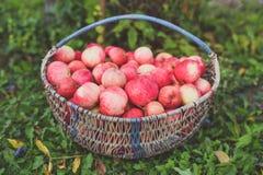 Большая корзина яблок Стоковые Изображения