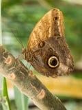 Большая коричневая бабочка на ветви Стоковые Изображения