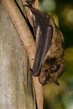 Большая коричневая летучая мышь Стоковая Фотография