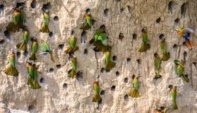 Большая колония Пчел-едоков в их роет на стене глины вышесказанного Уганда стоковое изображение