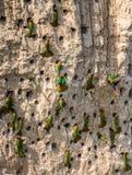 Большая колония Пчел-едоков в их роет на стене глины вышесказанного Уганда стоковые фотографии rf