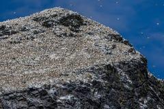 Большая колония gannets вложенности Стоковые Фото