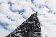 Большая колония gannets вложенности Стоковые Изображения RF