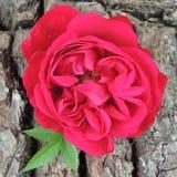 Большая красная роза на предпосылке коры дерева Стоковое фото RF