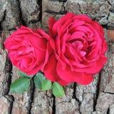 Большая красная роза на предпосылке коры дерева Стоковое Изображение