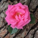 Большая красная роза на предпосылке коры дерева Стоковые Изображения RF