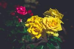 Большая круглая роза желтого цвета стоковое изображение rf