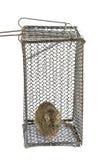 Большая крыса в клетке Стоковые Изображения
