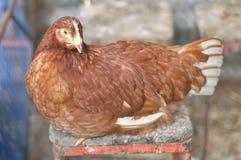 большая курица Стоковая Фотография
