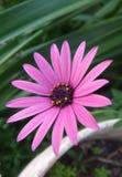 Большая маргаритка в саде Стоковая Фотография