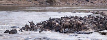 Большая миграция антилопы гну Стоковая Фотография