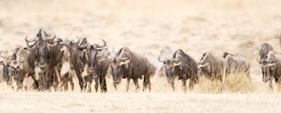 Большая миграция антилопы гну Стоковая Фотография RF