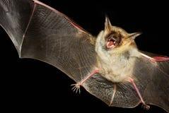 Большая мыш-ушастая летучая мышь изолированная в черноте Стоковые Фотографии RF