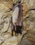Большая мыш-ушастая летучая мышь (myotis Myotis) Стоковые Фото