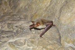 Большая мыш-ушастая летучая мышь (myotis Myotis) Стоковая Фотография RF