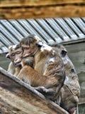 Большая обезьяна семьи Стоковое фото RF