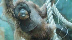 Большая обезьяна сидя на дереве и взглядах акции видеоматериалы