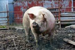 Большая ожиретая свинья Стоковое Изображение RF