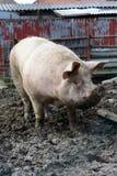 Большая ожиретая свинья Стоковое Изображение
