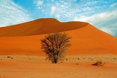 Большая оранжевая песчанная дюна в Namib Naukluft при куст растя в песке Стоковое Изображение
