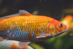 Большая оранжевая рыба в аквариуме Стоковая Фотография RF