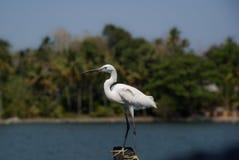 Большая охота Egret Стоковые Изображения RF