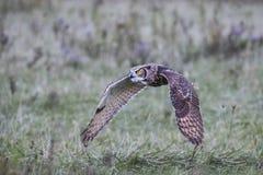 Большая охрана природы Онтарио Канада хищника Horned сыча канадская Стоковое Фото